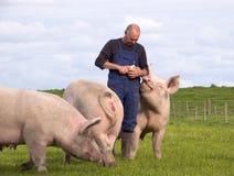 Porcos de alimentação do fazendeiro Fotografia de Stock Royalty Free