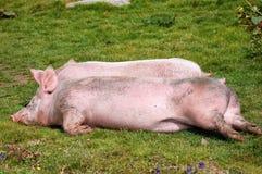 Porcos de descanso na grama Fotografia de Stock