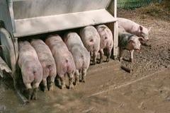 porcos deagrupamento Foto de Stock