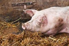 Porcos do sono Foto de Stock Royalty Free