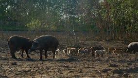 Porcos e leitão que andam no pasto na fazenda de criação Cultivo de porco Porcos na exploração agrícola video estoque