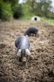 Porcos em um campo Imagens de Stock
