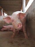 Porcos em um chiqueiro Fotos de Stock