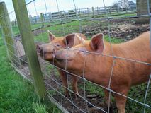 Porcos em uma cerca Fotos de Stock
