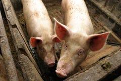 Porcos em uma exploração agrícola fotografia de stock