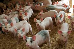 Porcos em uma exploração agrícola Imagens de Stock