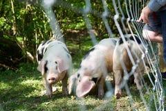 Porcos em uma pena imagem de stock