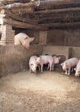 Porcos engraçados Fotos de Stock Royalty Free