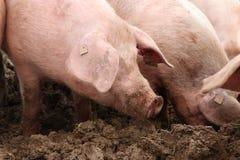 Porcos felizes na lama imagens de stock