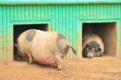 Porcos grandes Foto de Stock Royalty Free