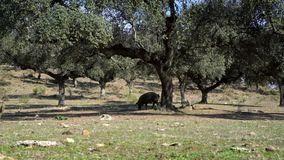 porcos ibéricos do preto 4K que pastam através dos carvalhos na pastagem Extremadura video estoque