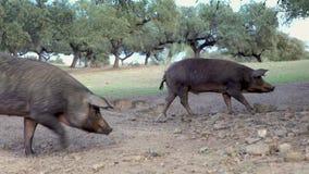 porcos ibéricos do preto 4K que pastam através dos carvalhos na pastagem Extremadura vídeos de arquivo