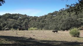 porcos ibéricos do preto 4K que pastam através dos carvalhos na pastagem Extremadura filme