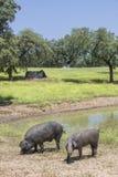Porcos ibéricos variados na primavera, Extremadura do preto do freeley Imagens de Stock Royalty Free