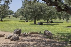 Porcos ibéricos variados na primavera, Extremadura do preto do freeley Imagem de Stock
