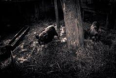 Porcos muito dramáticos Imagem de Stock Royalty Free