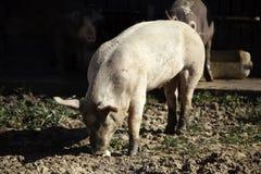 Porcos na exploração agrícola imagens de stock