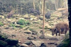 Porcos na exploração agrícola no vale do Pa do Sa Foto de Stock