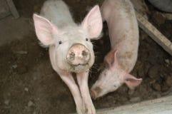 Porcos na lama Fotos de Stock