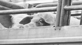 Porcos na maneira do caminhão ao matadouro para o alimento Fotografia de Stock