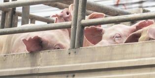 Porcos na maneira do caminhão ao matadouro para o alimento Fotos de Stock