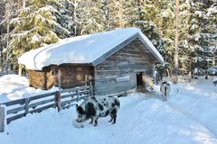 Porcos no museu ao ar livre Hägnan mim Gammelstad Imagem de Stock Royalty Free
