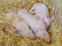 Porcos novos que dormem na palha no chiqueiro Imagens de Stock