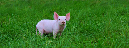 Porcos pequenos Fotos de Stock