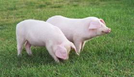Porcos pequenos Fotos de Stock Royalty Free
