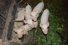 Porcos pequenos em uma exploração agrícola da criação de animais do porco Imagens de Stock Royalty Free