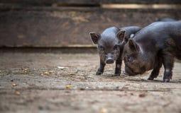 Porcos pequenos na exploração agrícola foto de stock