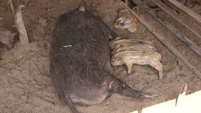 Porcos pequenos que comem o leite da mãe na exploração agrícola filme