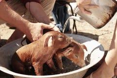 Porcos pequenos que têm o banho Foto de Stock Royalty Free