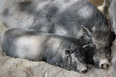 Porcos pretos Fotos de Stock Royalty Free