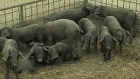 Porcos pretos pequenos filme