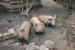Porcos profundamente na lama Fotos de Stock