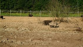 Porcos que andam na sujeira na fazenda de criação Porcos na exploração agrícola Cultivo de porco livestock video estoque
