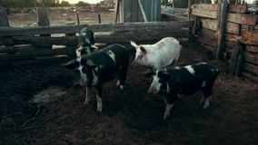 Porcos que andam no pasto na exploração agrícola animal Porcos que olham a câmera na fazenda de criação vídeos de arquivo