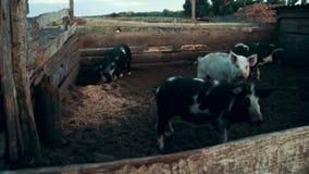 Porcos que andam no pasto na exploração agrícola rural na pilha do feno do fundo filme