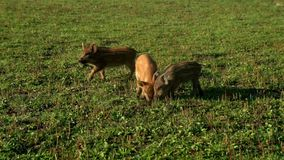 Porcos que comem a grama verde no campo na criação de animais Cultivo de porco filme