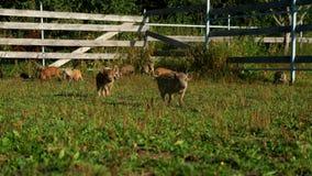 Porcos que comem a grama verde no campo na exploração agrícola rural Cultivo de porco Fazenda de criação vídeos de arquivo