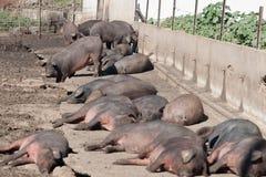 Porcos que descansam no sol Fotografia de Stock