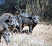 Porcos selvagens Imagens de Stock Royalty Free