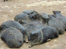 Porcos selvagens Imagens de Stock