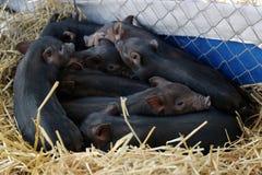 Porcos vietnamianos Imagem de Stock