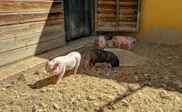 Porcos vietnamianos preto e branco que jogam na areia foto de stock