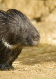 Porcpine Close-up. Close-up of a Porcupine Sleeping Royalty Free Stock Images
