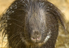 Porcpine Close-up. Close-up of a Porcupine Sleeping Stock Photo