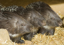Porcpines Sleeping. Close-up of three Porcupines Sleeping Stock Photos