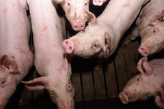 Porcs à la ferme Images libres de droits